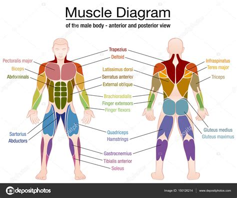 This muscle originates on the zygomatic arch and maxilla, and it inserts on the angle and. Body muscle chart | Muscle Diagram Male Body Names — Stock ...