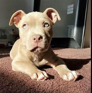 Best 25+ Baby pitbulls ideas on Pinterest | Cute pitbull ...