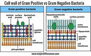 10 Differences Between Cell Wall Of Gram Positive And Gram Negative Bacteria