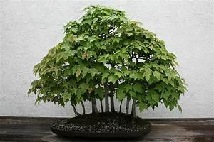 راهنمای نگهداری و پرورش گل و گیاهان زینتی - افرای سرخ (بونسای)
