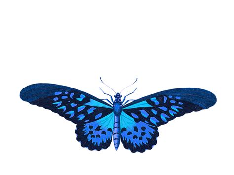 butterfly animal insect  image  pixabay