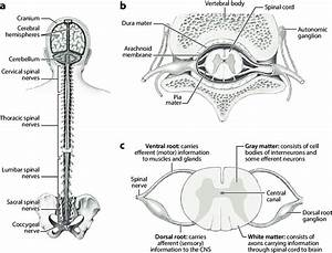 Anatomy Of The Central Nervous System  Cns    A  The