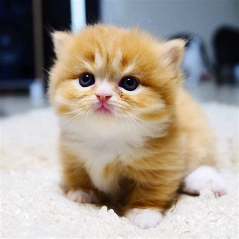 25+ Best Ideas About Munchkin Kitten On Pinterest