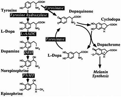 Melanin Dopamin Pathway Pigment Dog Pathways Very