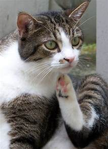 cats for with allergies can cats allergies the happy cat site allergy faq