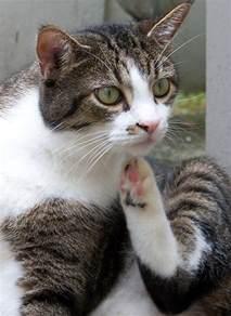 cat has allergies can cats allergies the happy cat site allergy faq