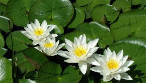 nymphaea alba white water lily plants deep water
