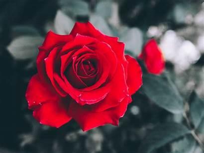 Petals Rose Blur Bud Obituary Carol Standard