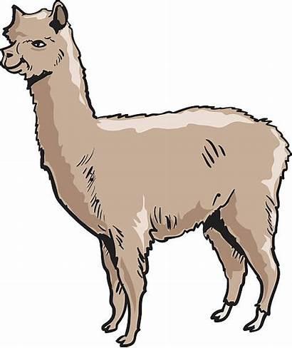 Alpaca Lama Vector Silhouette Clipart Clip Illustrations