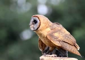 Rare Owl Species
