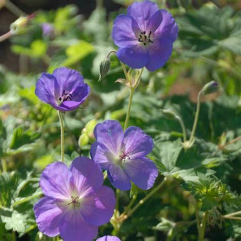 perennial plant care 5 tips for perennial geranium care