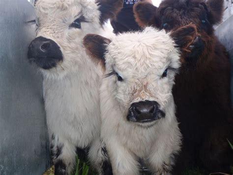 miniature galloway cattle teacupsminis dwarf animals