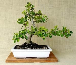 Comment Tailler Un Ficus : bonsa cr ation fiche d 39 entretien du ficus panda ficus ~ Melissatoandfro.com Idées de Décoration