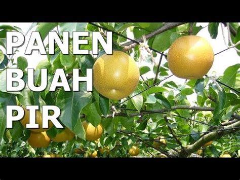 Petik dan Panen di Kebun Buah Pir /Pear YouTube