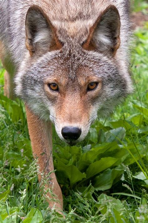Coyote Fox images  foxes wolves coyotes  pinterest 736 x 1104 · jpeg