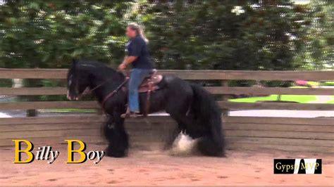 gypsy horses vanner boy stallion billy bay