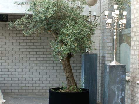 entretenir un olivier en pot engrais pour olivier en pleine terre de conception