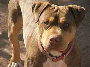 8 best mastiff and pit mix images on Pinterest | Pit bulls ...