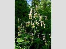 Thalictrum occidentale western meadowrue growisernet