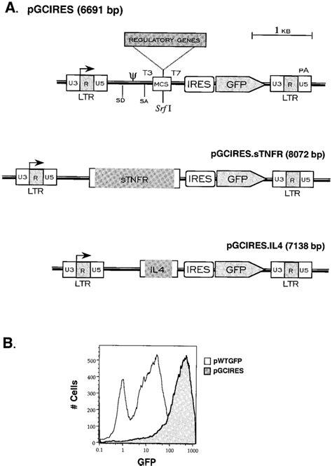 Schematic diagram of MMLV-based retroviral vectors. A ...