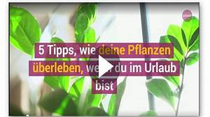Pflanzen Bewässern Urlaub : pflanzen bew ssern im urlaub so berleben sie ohne gie en nordhessen journal ~ Watch28wear.com Haus und Dekorationen