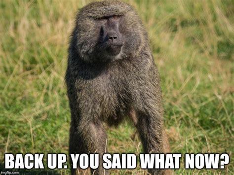 Baboon Meme - uneasy baboon imgflip