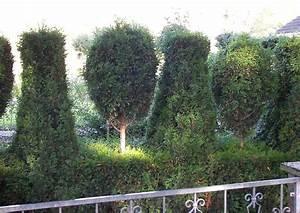 Wann Dürfen Hecken Geschnitten Werden : thujahecken schneiden und umpflanzen lebensbaum starker r ckschnitt m glich ~ Frokenaadalensverden.com Haus und Dekorationen