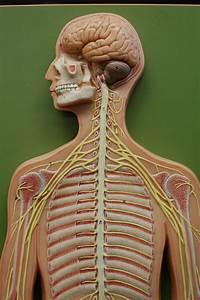 Human Anatomy Lab  Peripheral Nervous System