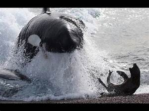 Killer Whales hunt seals - Fascinating facts in the wild ...