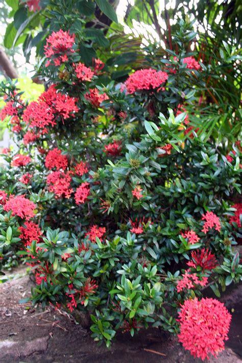 tropical flowering bushes 4 pink flowered shrub jj friends of chinandega