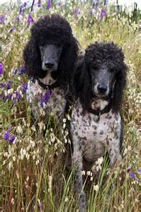 Standard Party Poodle