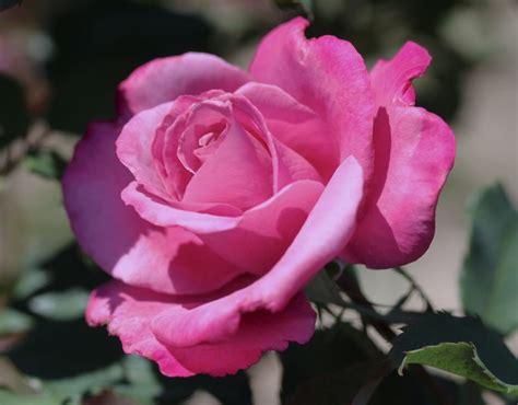 fragrant plum rose purple rose blue grandiflora rose