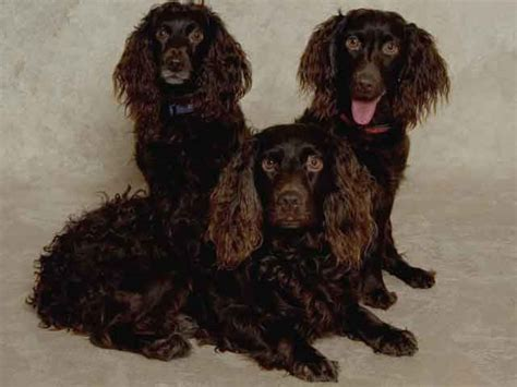do boykin spaniel dogs shed boykin spaniel breed boykin spaniel temperament