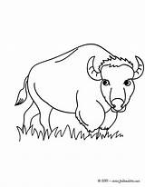 Bison Coloring Pages Animals Wild Animal Printable Sheets Forest Designlooter Hellokids sketch template