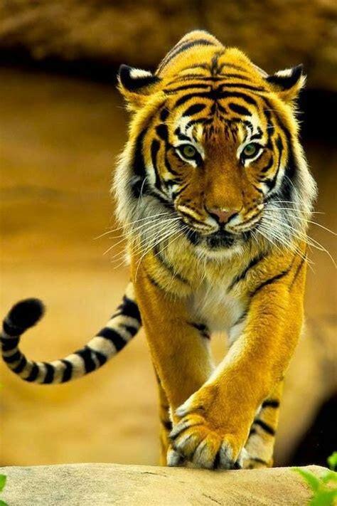 Beautiful Tiger Tigers Animaux Bonheur Tigres