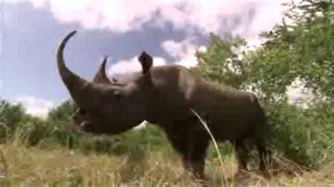 rinoceronte negro extinto youtube