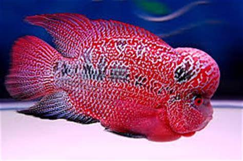 flowerhorn cichlid flowerhorn tropical fish site
