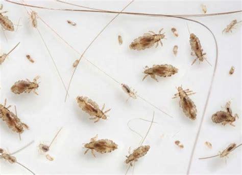 Carpet Fleas Symptoms   Carpet Vidalondon