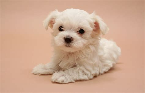when do puppies open there eye problems in puppies petcha