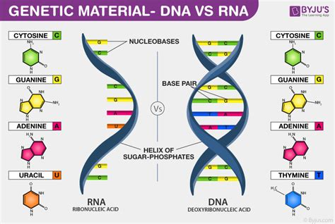 Genetic Material  Properties And Differences Between Dna And Rna