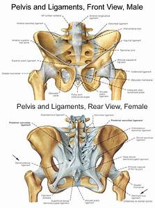 Pelvic Bones And Ligaments  Thanks Anatomy In Motion  With