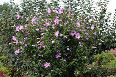 hibiskus im winter hibiskus hecke anlegen und pflege im sommer winter gartendialog de