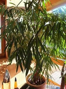 Große Zimmerpflanzen Kaufen : ficus binnendijkii gro e zimmerpflanze mit bertopf ~ Frokenaadalensverden.com Haus und Dekorationen