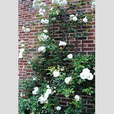 White Dawn Common Name Largeflowered Climbing Rose Type