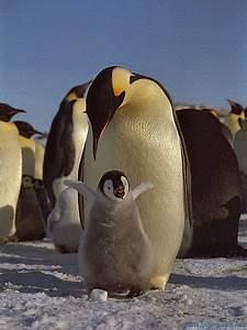 Emperor Penguin | Fun Animals Wiki, Videos, Pictures, Stories