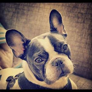 Black and white pied French Bulldog. | Pet Things | Pinterest