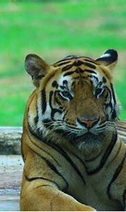 Bengal Tiger | Look in to my eyes ! | Harri Muthahhari ...