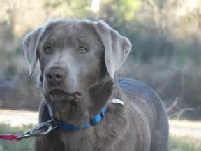 Labrador Retriever Silver Lab
