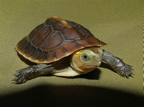 Heat Ls For Box Turtles golden box turtles for sale from the turtle source