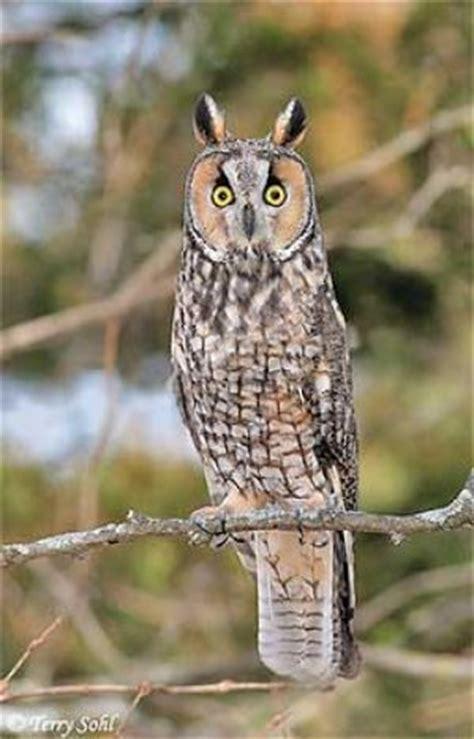 long eared owls differ  great horned kpcnews kpcnews
